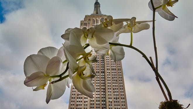 An unusual view from an apartment window juxtaposes a delicate orchid with the imposing 102-story Empire State Building in Manhattan.