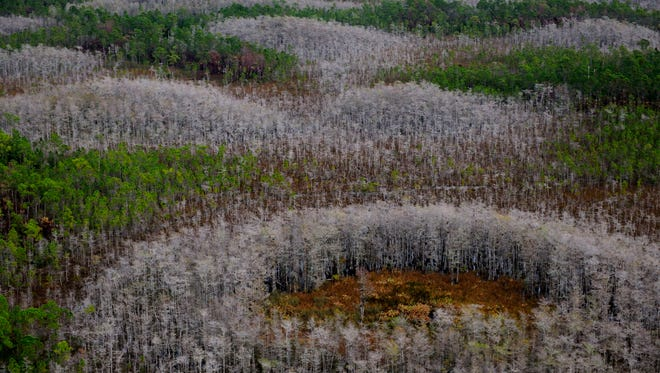 For Winter white, take a drive to see the bald cypress trees that proliferate the swamp prairies of the Everglades.
