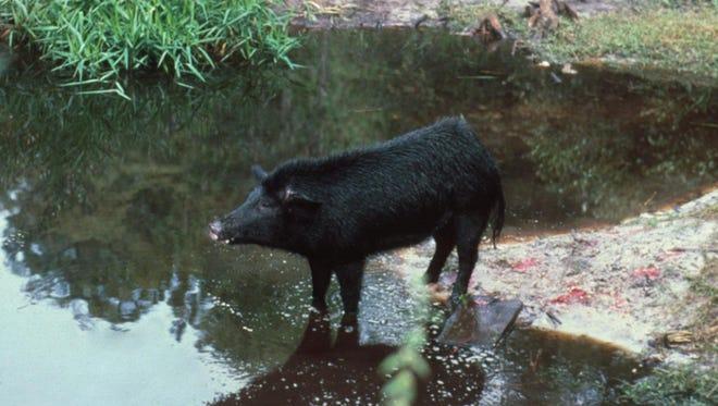 An adult feral hog in a marshy habitat.