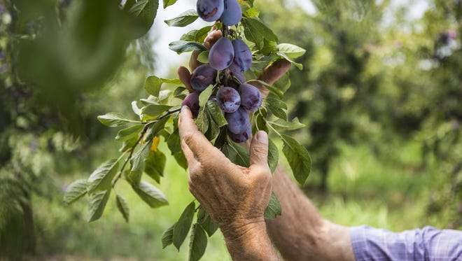 California produces almost all the U.S. prunes and more than 40 percent of prunes worldwide, according to the California Dried Plum Board.
