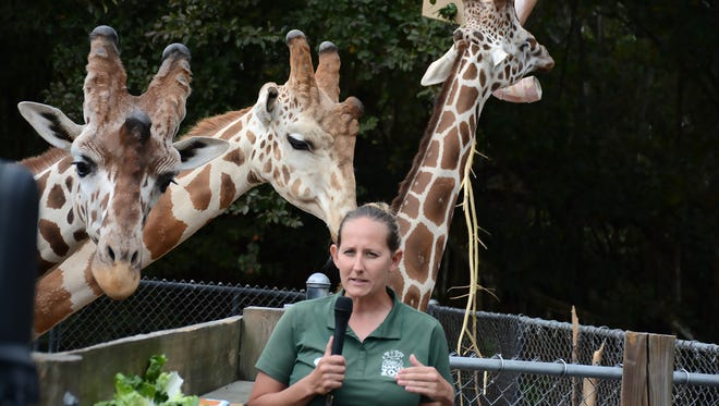 Naples Zoo giraffe-wrangler Elizabeth Johnson feeds  the giraffes some romaine lettuce.