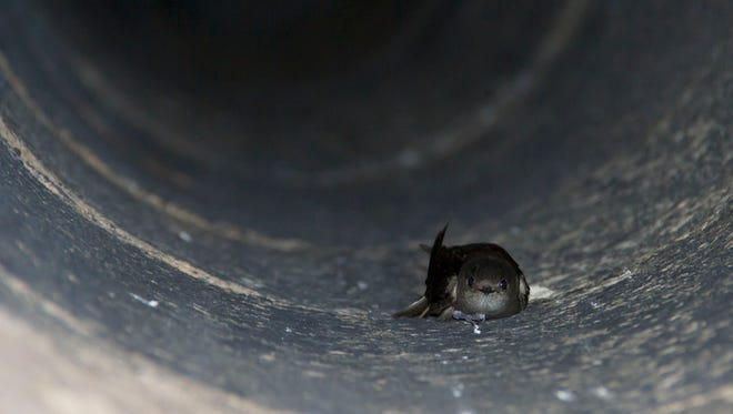 A chimney swift on the side of a chimney.