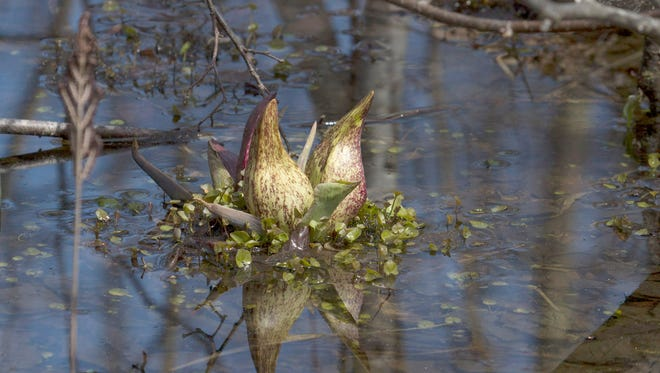 Skunk cabbage flower.