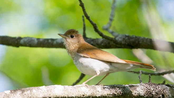 A veery at Woodland Dunes Nature Center in Two Rivers.