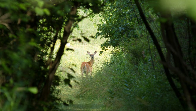 Deer on the prairie at Woodland Dunes Nature Center and Preserve in Two Rivers.