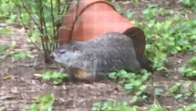 An Asheville resident wants to know if it's legal to trap and remove this giant groundhog from his property.