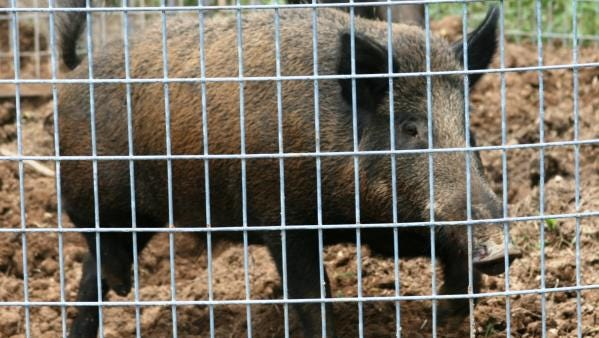 Several Missouri groups are helping the state trap and kill feral hogs.