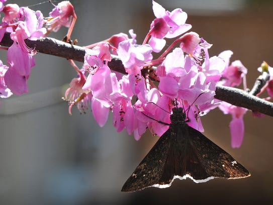 A black and brown moth checks out the blossoms on a