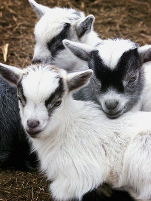 Cuddle a kid Saturday, Aug. 11, at Noble Springs Dairy in Franklin