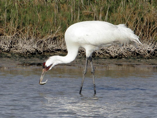 "Stephen Bales' essay on whooping cranes — a species that is ""a downy feather away from disappearing altogether""— combines a discussion of the birdlike qualities of dinosaurs with an account of the collective efforts, beginning in the 1950s, to save the ""whoopers"" from imminent extinction."