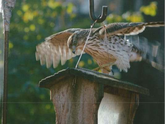 LIV hawk attack