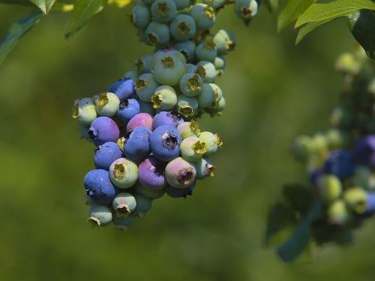 berries160624j.jpg