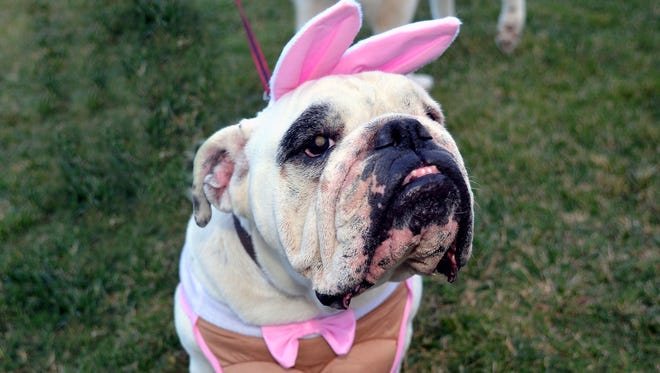 "8 year old ""Bella"" came dressed as ""Playboy Bulldog Bunny."""