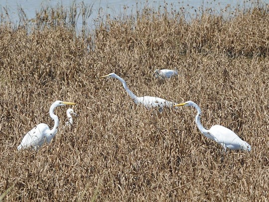 Great egrets are seen Friday at Bombay Hook National Wildlife Refuge near Smyrna.
