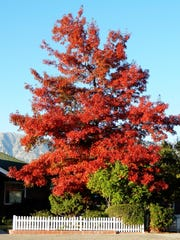 Warm sunny days with cool but not freezing nights bring out brighter colors in our trees.