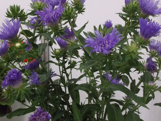 Long Blooming Blue Frills Stokes Aster Enlivens The