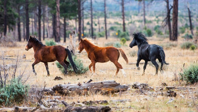 Mustangs canter across land in the Apache-Sitgreaves National Forests. The U.S. Forest Service says that there are several hundred horses in the area and argues that the population isn't wild and needs to be controlled.