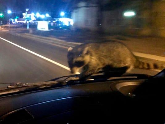 raccoon2.jpg