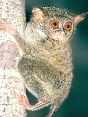 A Tarsius supriatnai clings to a tree on the island of Sulawesi in Indonesia.