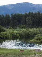 A deer warily grazes along the Yaak River's shores.