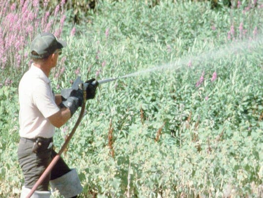 WEED ERADICATOR AT WORK ON PURPLE LOOSESTRIFE