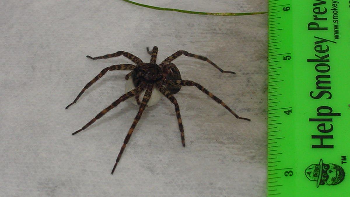 Eeek Spiders So Big You Will Freak