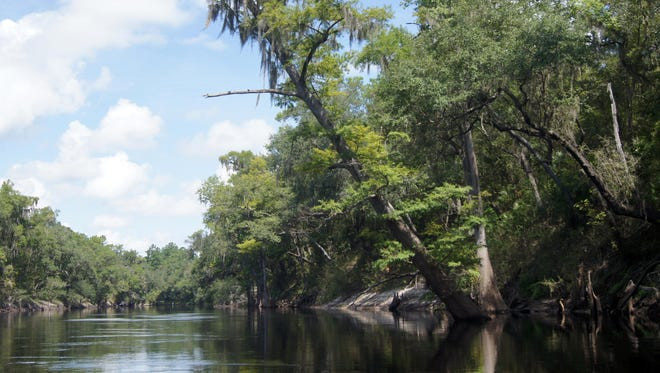 The Suwannee River begins in southeastern Georgia's Okeefenokee Swamp, winding through Florida and spilling into the Gulf of Mexico. The upper Suwannee begins in White Springs Florida passing through towering pines and statuesque cypress trees while limestone bluffs line the river bank.