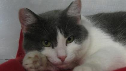 Jasmine enjoys other cats and may make a great friend in a home with other felines.