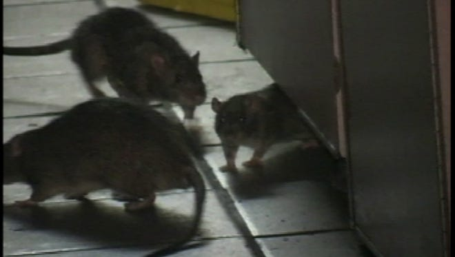 Rats are popping up in more homes across the Willamette Valley.