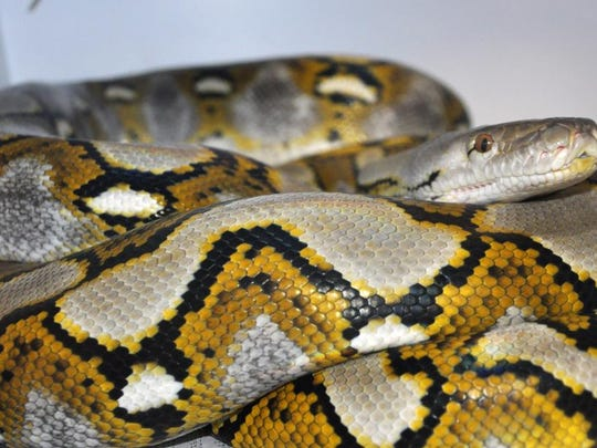 This is one of the six offsprings of a reticulated python at the Louisville Zoo.