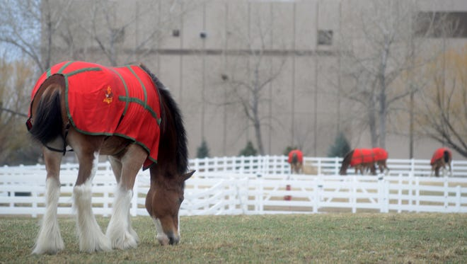 Clydesdales graze at the Anheuser-Busch Fort Collins Brewery in this March 18 file photo. A state board has set the taxable property value of the brewery in northeast Fort Collins, settling a dispute between the U.S. beer giant and Larimer County.