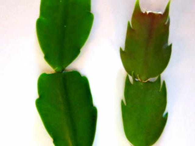 When Do Christmas Cactus Bloom.Christmas Cactus Getting Them To Bloom