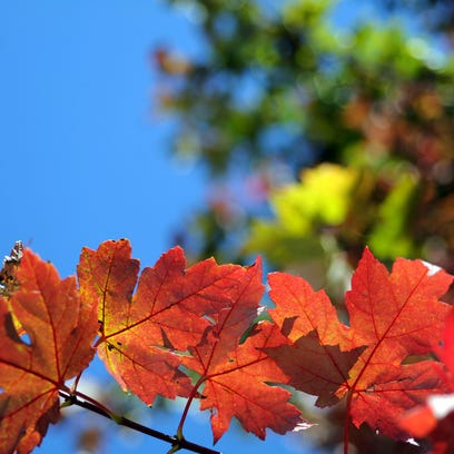 Fall leaves change color in Knoxville.  (KEVIN MARTIN/NEWS SENTINEL)