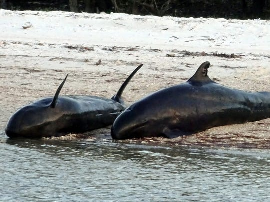 Scores of dolphins, a species also known as false killer whales, beached themselves on Hog Key on Saturday, Jan. 14, 2017, on the western edge of Everglades National Park south of Chokoloskee. Nearly 100 animals beached themselves, of which more than 80 died, the largest mass stranding in the Southeast. National Oceanic and Atmospheric Administration scientists still are trying to determine what caused the incident. (Photo courtesy of Louis Erickson)