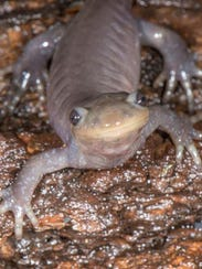 Be ready to help these amphibians come out of hibernation,