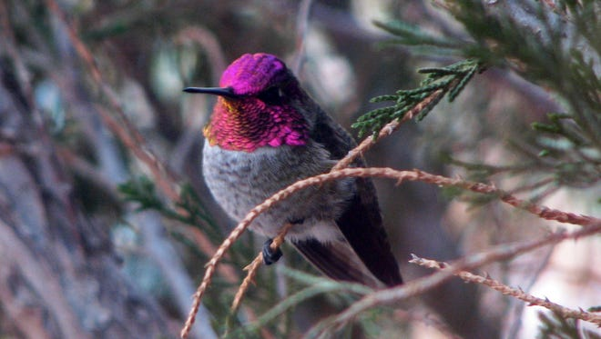 A male Anna's hummingbird sports its new sparkling plumage.