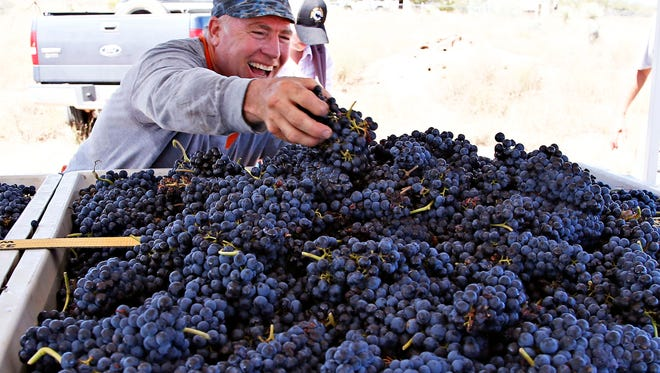 Jeff Brand helps fill a half ton bin with freshly picked Tempranillo grapes at the Bloomoon (cq) Vineyard on August 29, 2015 in Willcox.