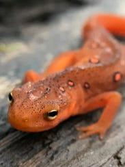 Eastern newt, Pine Mountain, eastern Kentucky