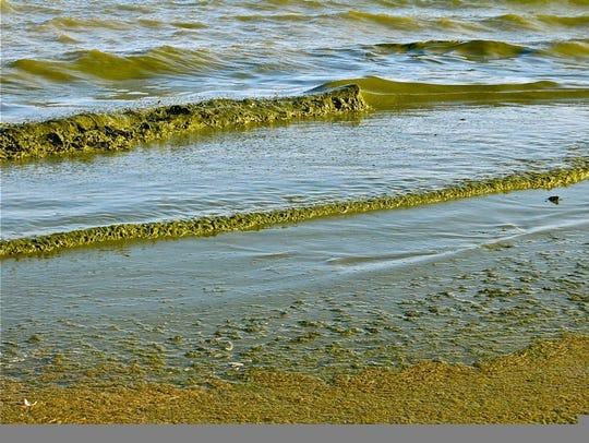 Green algae rolls onto Algoma's Crescent Beach in this