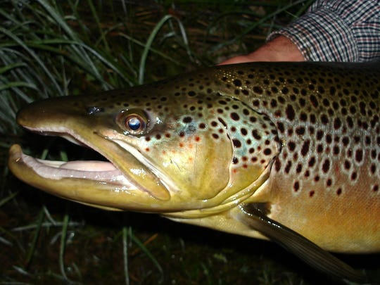 Spinners basically bounce off the bullet proof jaws of adult large brown trout.