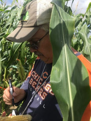 Tim Johnson collects data from an ear or corn during a research study near Homestead, Fla. The company Johnson works for is concentrating on improving pollination efficiency.