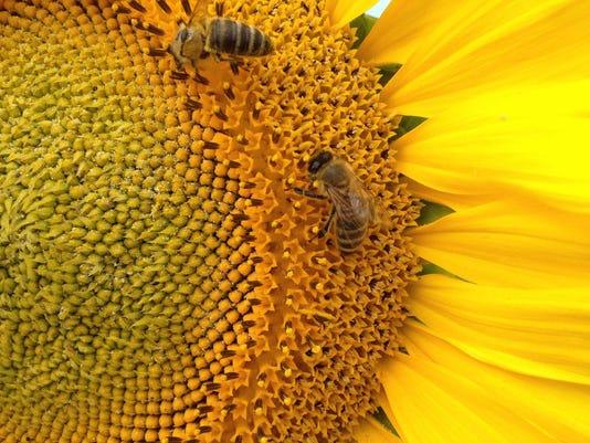 Yardsmart: Sunflowers