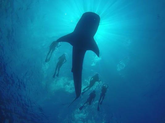 Cancun Adventures whale shark tour