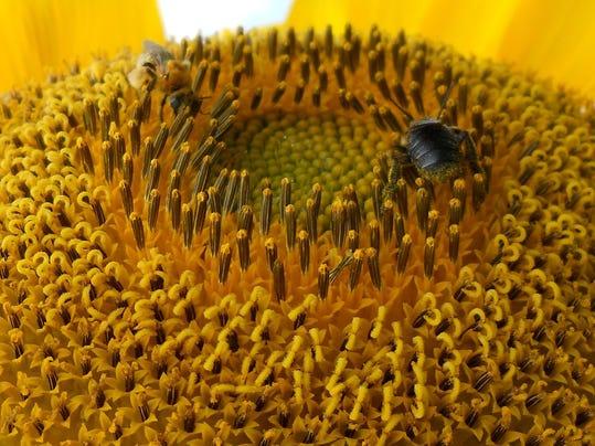 Sunflower bees 3