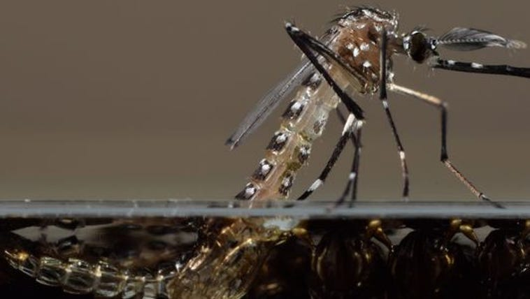 This undated photo shows a genetically modified mosquito