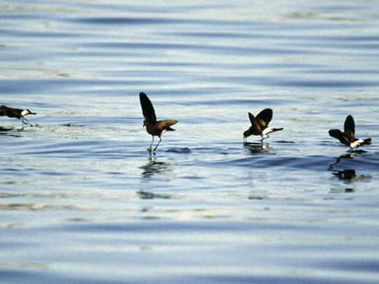 A small flock of storm-petrels dance across the ocean's surface while plucking small fish from the tops of ripples.