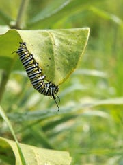 A monarch butterfly caterpillar feeds on the leaf of