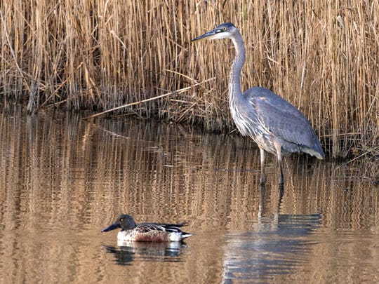A great blue heron and northern shoveler in the Meadowlands.