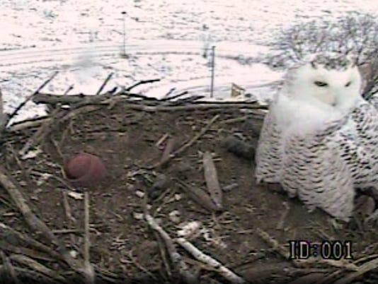 Snowy owl on Collins Marsh cam