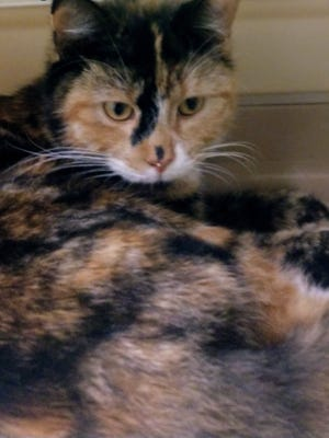This beautiful calico girl is ready to go home with you. Ask for Nova.